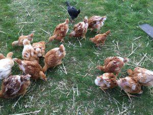 Økologiske kyllinger på Kirsebærgården