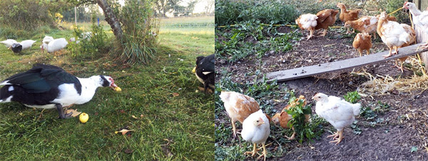 Ænder og kyllinger i haven