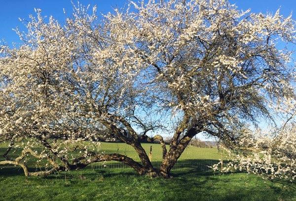 Kirsebærgården i blomsterbrus