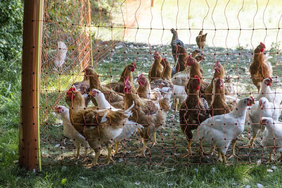 Kyllingerne er klar den 22. juni